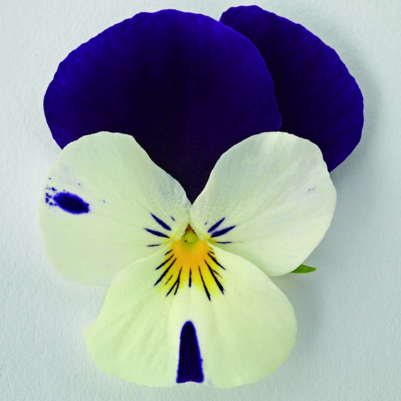 White Purple Wing