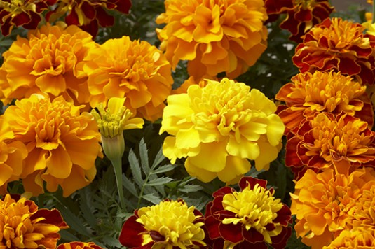 Marigold (French)