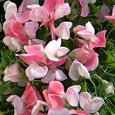 Click for more - Sweet Pea Seeds