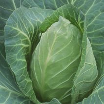 Point One - Cabbage