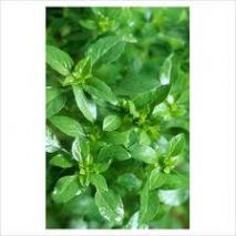 Basil (Ocimum minimum) Bush (Item ID:13841)