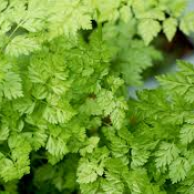 Chervil (Anthriscus cerefolium) Massa (Item ID:13665)