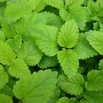 Lemon Balm (Melissa officinalis) (Item ID:8396)