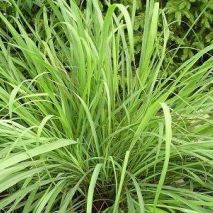 Lemon Grass (Cymbopogon flexousus) (Item ID:16158)