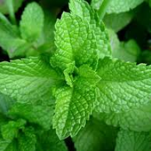 Mint (Mentha spicata) Spearmint (Item ID:14686)