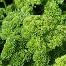 Parsley (Petroselinum crispum) Curly Champion Moss (Item ID:3458)
