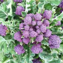 Purple Sprouting (Item ID:BROC6)